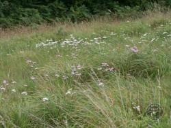 Flowers Of Rough Grassland Yarrow 2