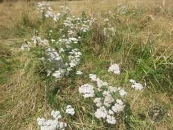 Flowers Of Rough Grassland Yarrow