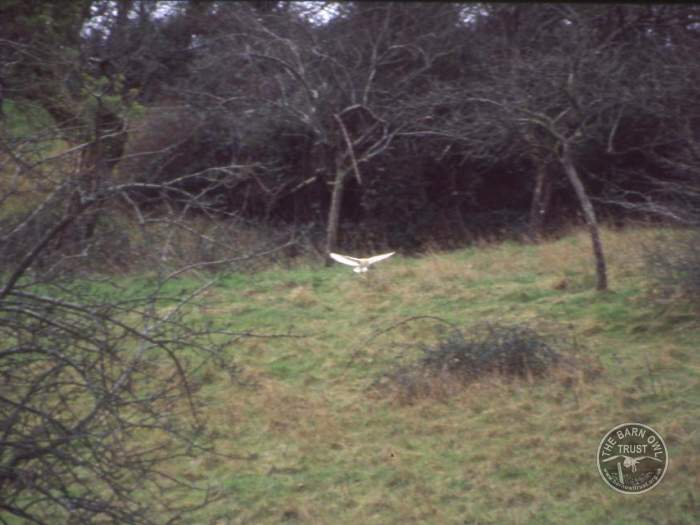 Good Barn Owl Habitat photo gallery