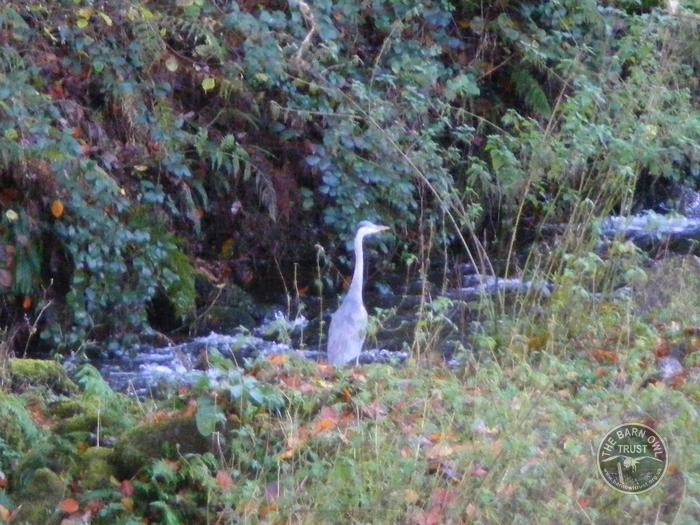Grey Heron River Ashburn
