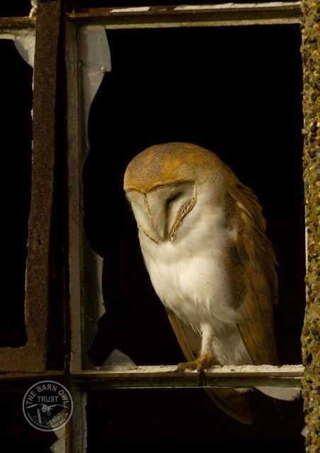Home Range Barn Owl Roosting Russell Savory