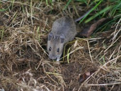 Hunting Feeding Wood Mouse