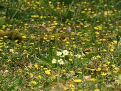Lennon Legacy Project Wildflowers Celandine Primrose