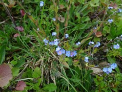 Lennon Legacy Project wildflowers - Forget-Me-Not