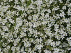 Lennon Legacy Project Wildflowers Greater Stitchwort 2