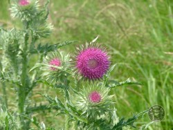 Lennon Legacy Project Wildflowers Musk Thistle
