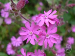 Lennon Legacy Project Wildflowers Red Campion