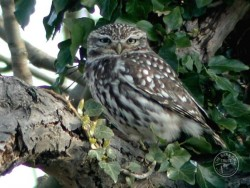 Little Owl photo by Nick Sampford