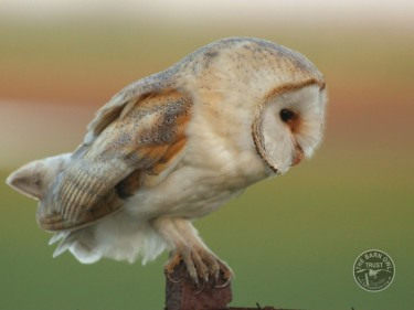 Owl Identification Barn Owl