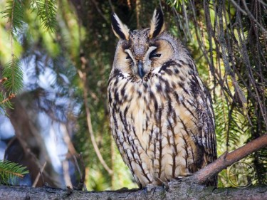 Owl Identification Long Eared Owl