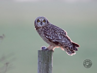 Owl Identification Short Eared Owl Les Foster