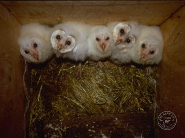 Barn Owl Release: Brood of 5