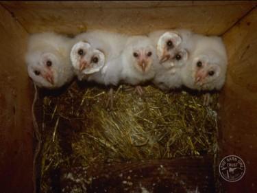 Barn Owl Release: Brood of 5