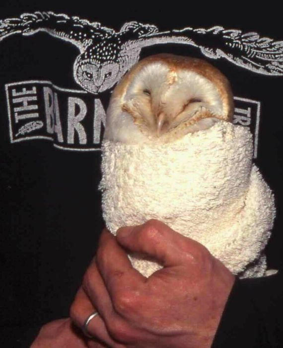Owl Rescue Rehabilitation Barn Owl Wrapped