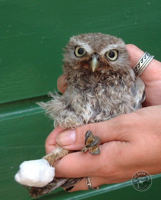 Owl Rescue Rehabilitation Little Owl Bandaged
