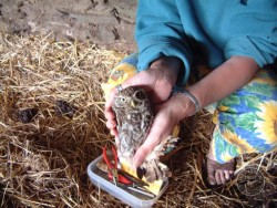 Owl Ringing BTO Little Owl
