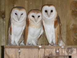 Owl Sanctuary Barn Owl Rehabilitation Centre