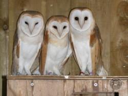 Owl Sanctuary Barn Owl Rehabilitation Centre