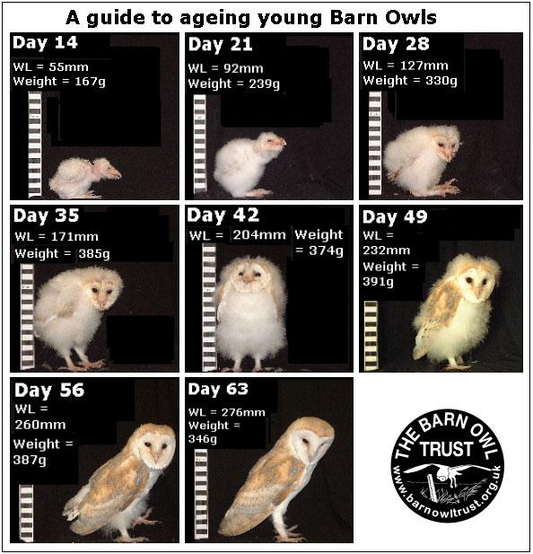Owlet Id Ageing Ageing Guide