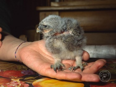Owlet Id Ageing Little Owl Owlet