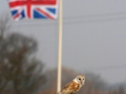 Perched Barn Owl Flag Background Russell Savory