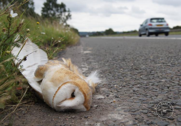 Projects Barn Owl Major Road Research Project Sandy Osborough