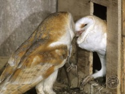 Protection Whilst Nesting Barn Owl Feeding Kevin Keatley