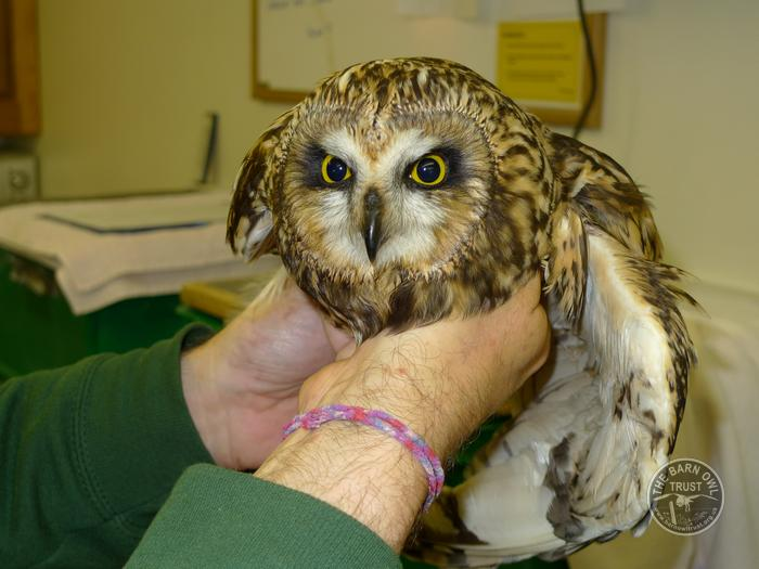 Short-eared Owl Injured Rehabilitated