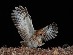 Tawny Owl Nestboxes Flying at night by Stephen Powles