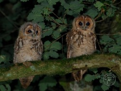 Young Tawny Owlets by Stephen Powles