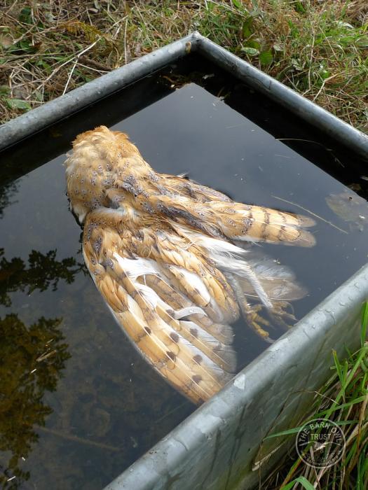 Barn Owl Hazards Water Troughs The Barn Owl Trust