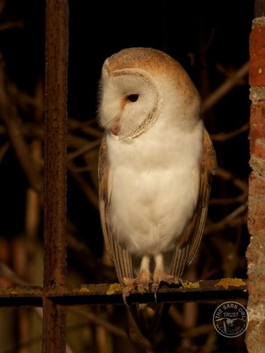 Wild Barn Owl Protection Barn Owl Perching Russell Savoury