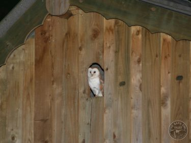 Barn Owl Internal Provision Barn Owl