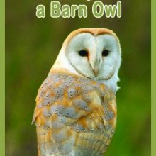 Barn Owl Adoption