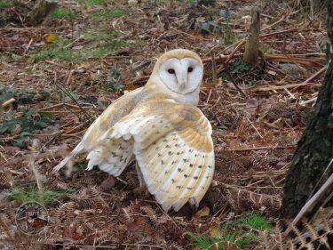 Barn Owl GV72137 John Walters