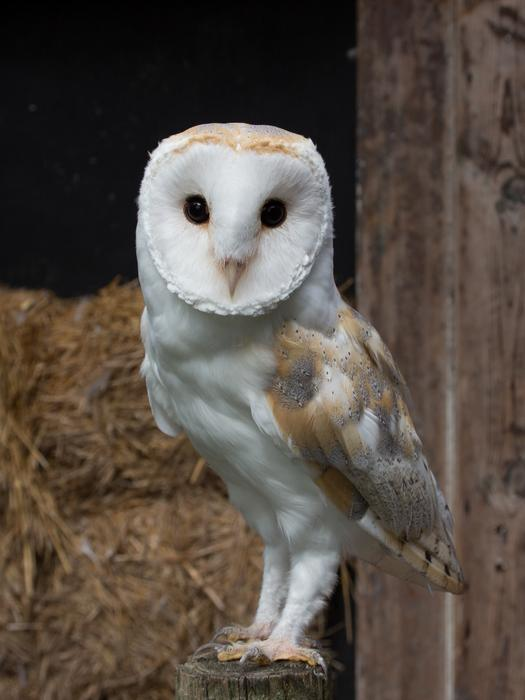 Barn Owl Trust Baley The Barn Owl Trust