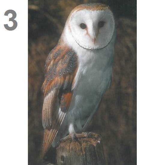 Barn Owl Trust Barn Owl Portrait Postcard