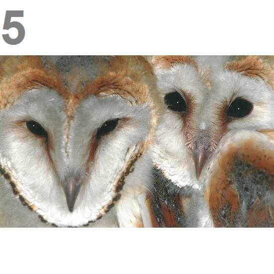Barn Owl Trust Face To Face Postcard