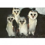 Barn Owl Trust Four Owlets in a row poster