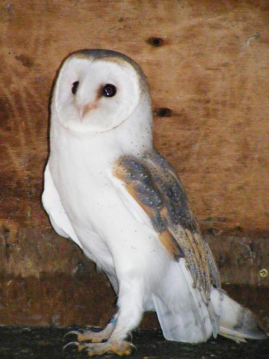 Barn Owl Trust Rose The Barn Owl Trust