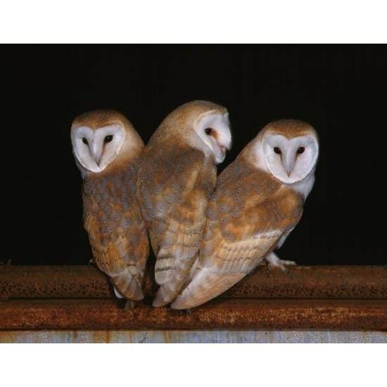 Barn Owl Trust Three Of A Kind Postcard Image