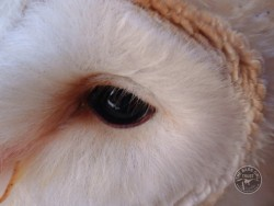 Barn Owl Anatomy Close Up Eye