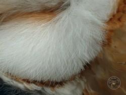Barn Owl Anatomy Close Up Facial Disc