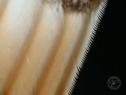 Barn Owl Feathers 10th Primary Melanie Lindenthal