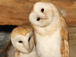 Barn Owl Fledglings Kevin Keatley Barn Owl photos