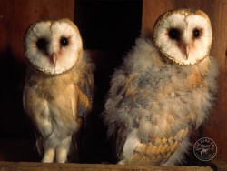 Barn Owl Fledglings Kevin Keatley 02