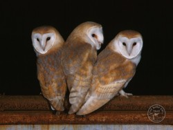 Barn Owl Fledglings Kevin Keatley 04