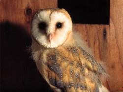 Barn Owl Fledglings Kevin Keatley 06