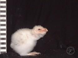 Barn Owl Owlet Growth 21 Days