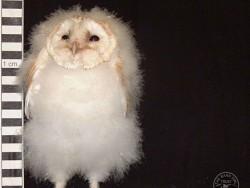 Barn Owl Owlet Growth 42 Days